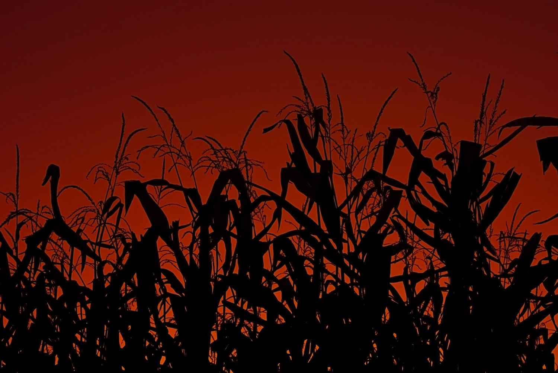 File:Corn stalks at su...