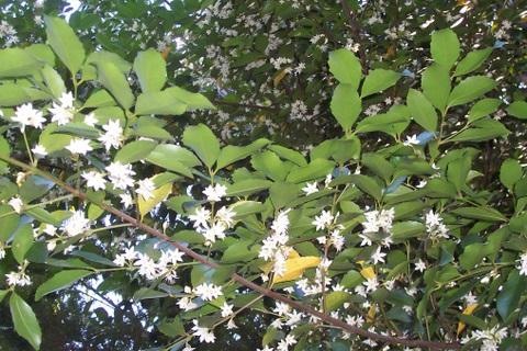 TÌNH YÊU CÂY CỎ  - Page 5 Doryphora_sassafras_flowers_St_Ives_2