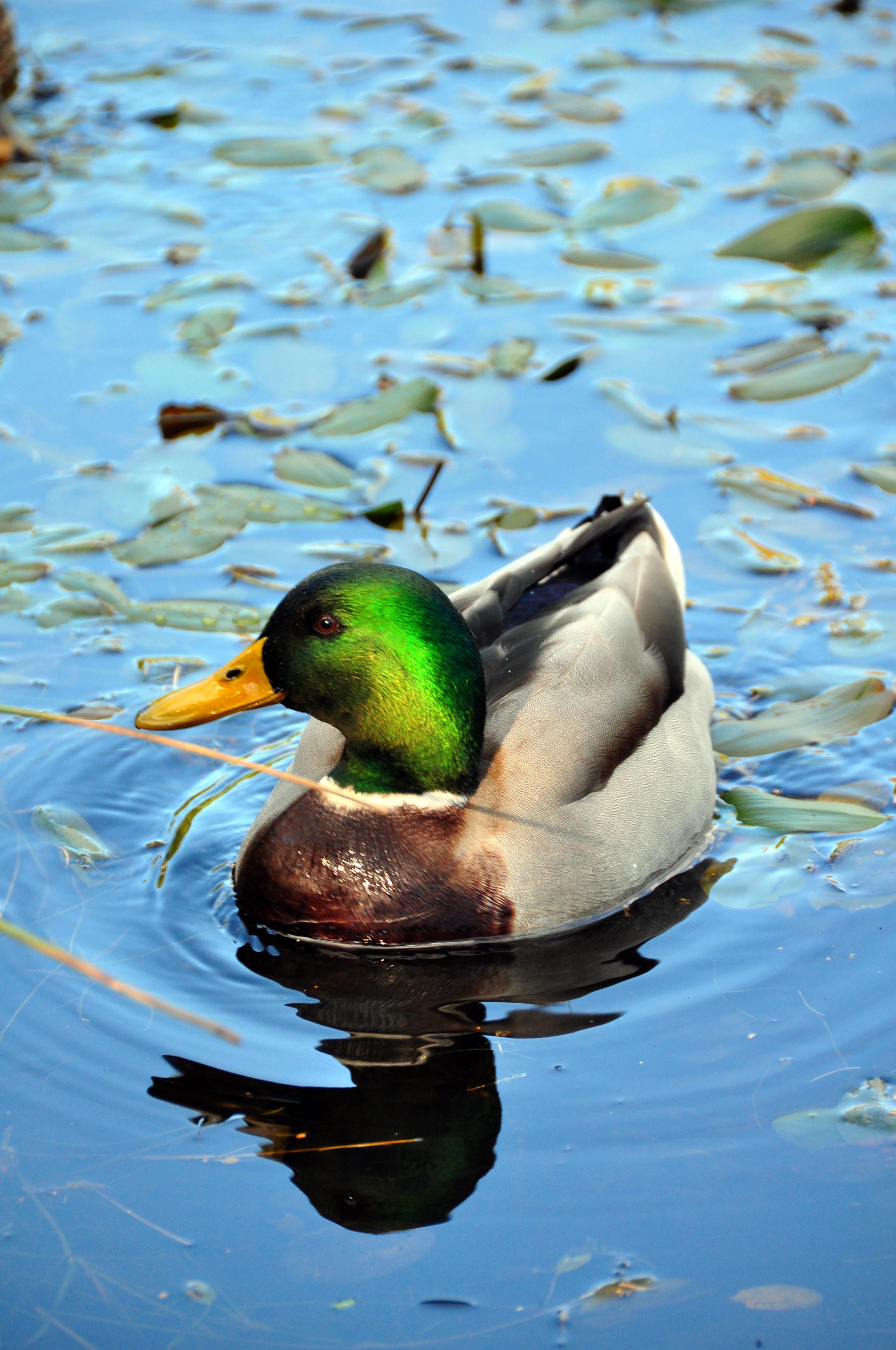 ducks swimming on the - photo #16