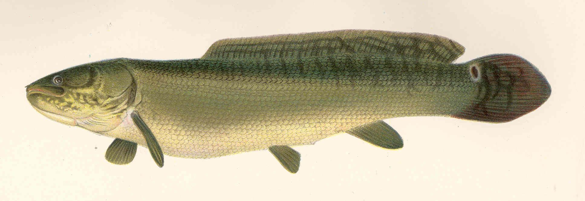 mud dog fish