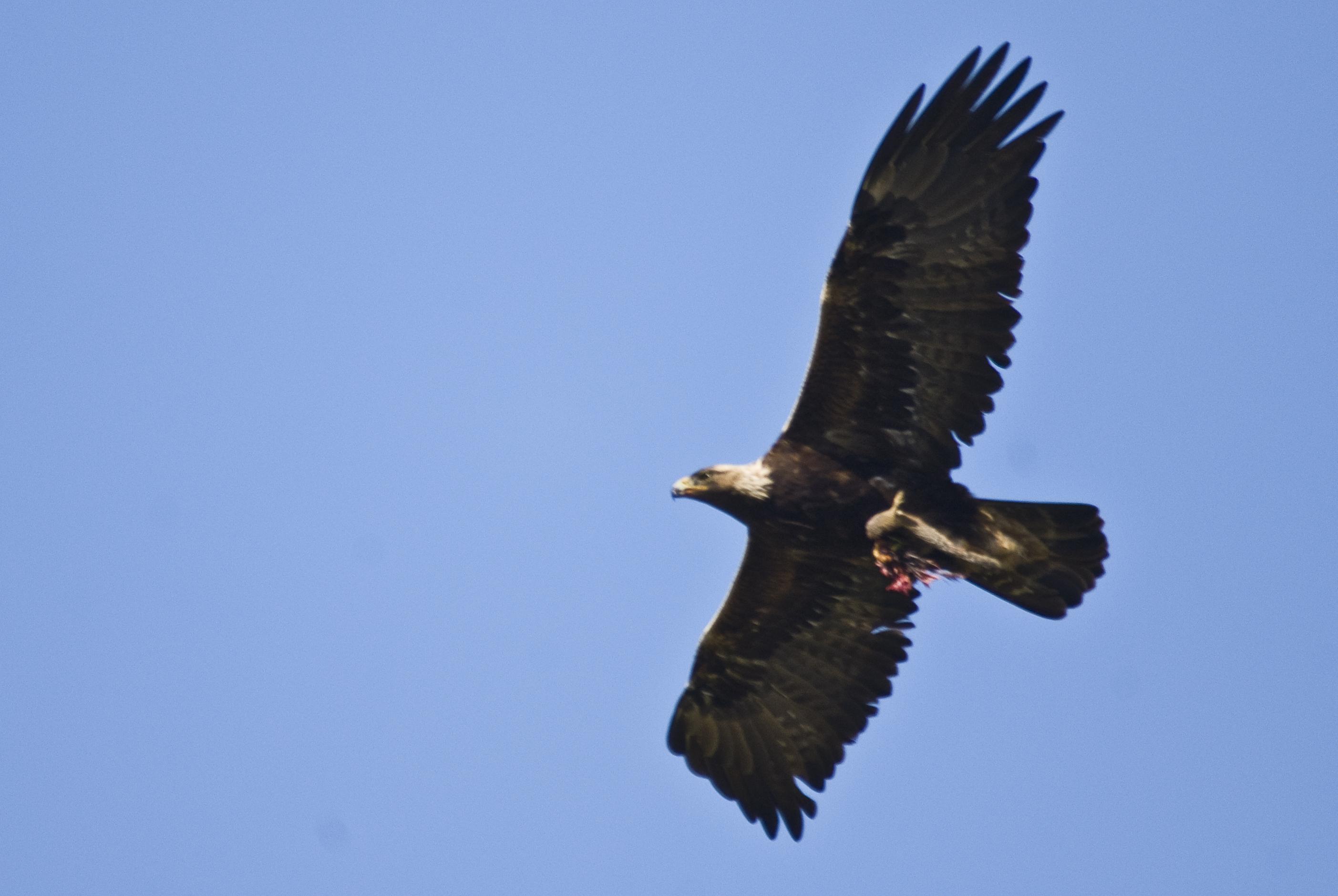 File:Golden Eagle flying.jpg - Wikimedia Commons