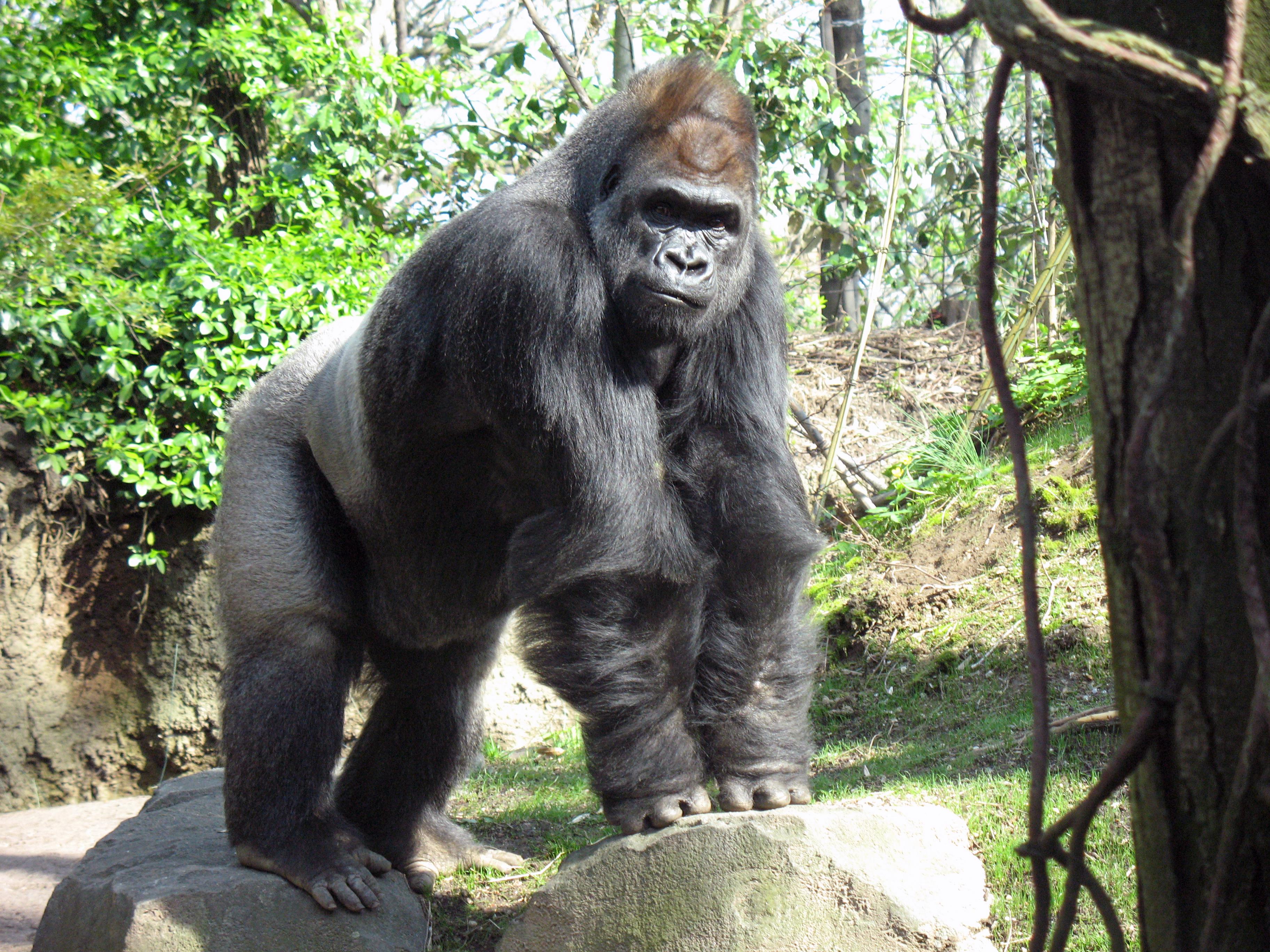 File Gorilla Bronx Zoo Anagoria Jpg Wikimedia Commons