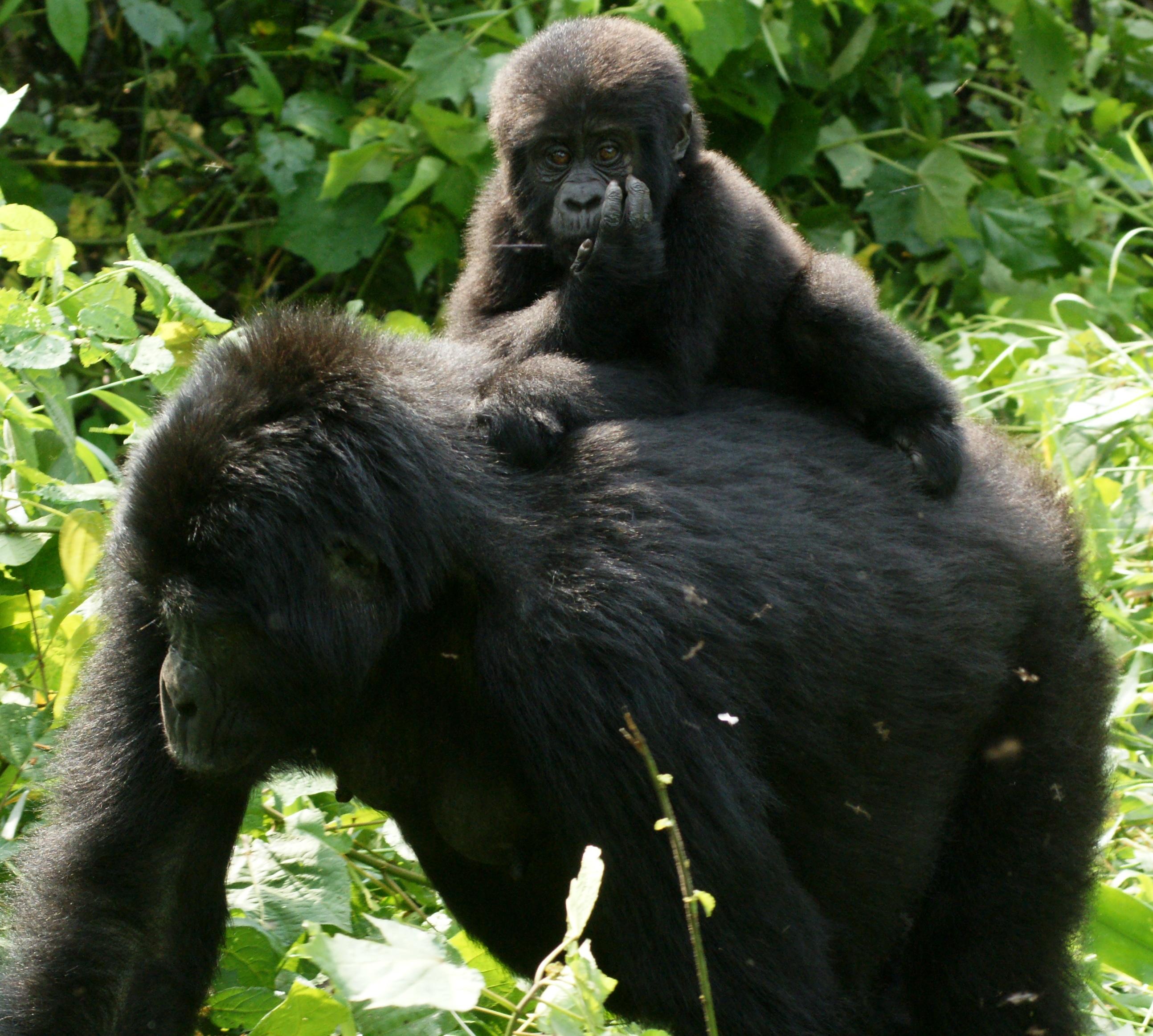 File:Gorillas in Uganda-3, by Fiver Löcker.jpg - Wikimedia ...