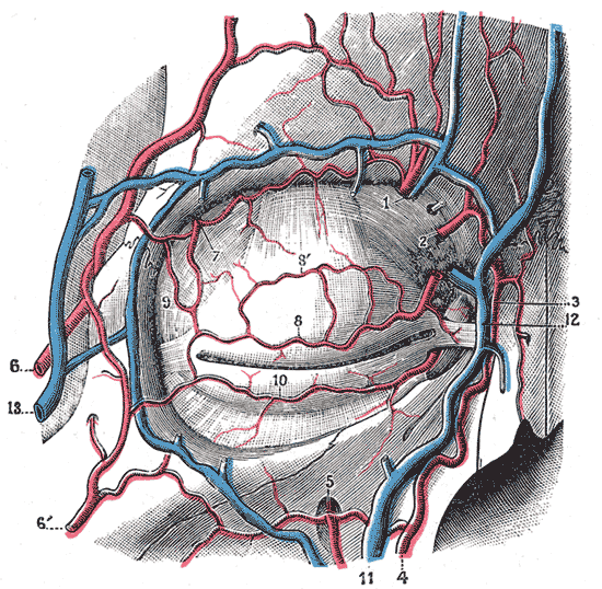 Angular artery - Wikipedia