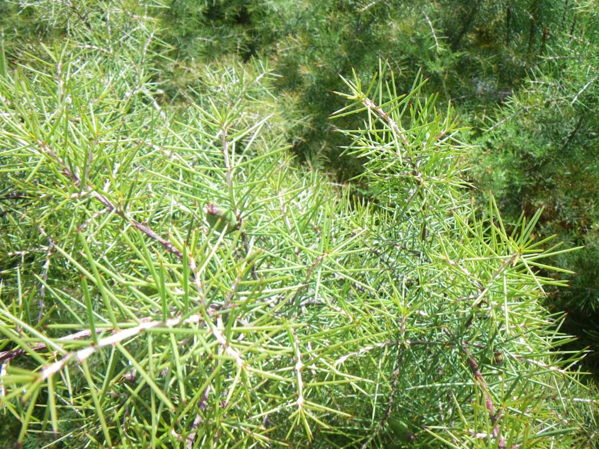 Hakea sericea wikipedia for Arbustos en jardines