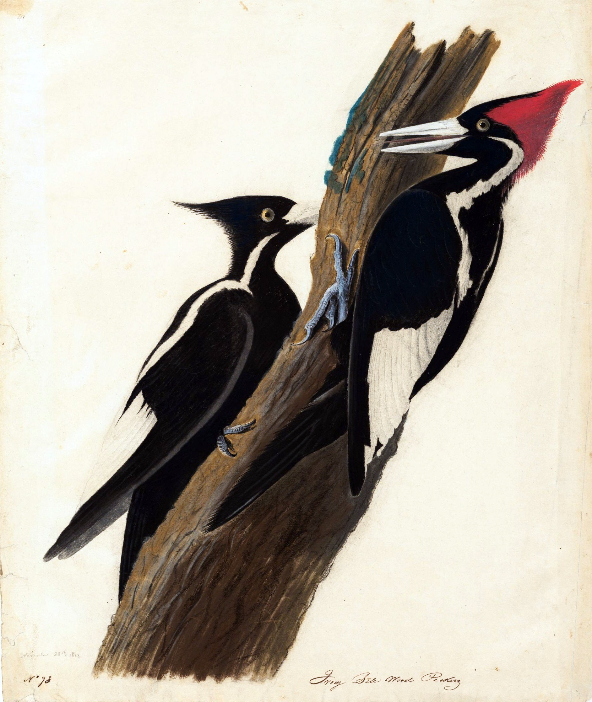 ivory billed woodpecker Contents[show] description the ivory-billed woodpecker was one of the largest woodpeckers in north america it was native to southeastern united states, especially to.