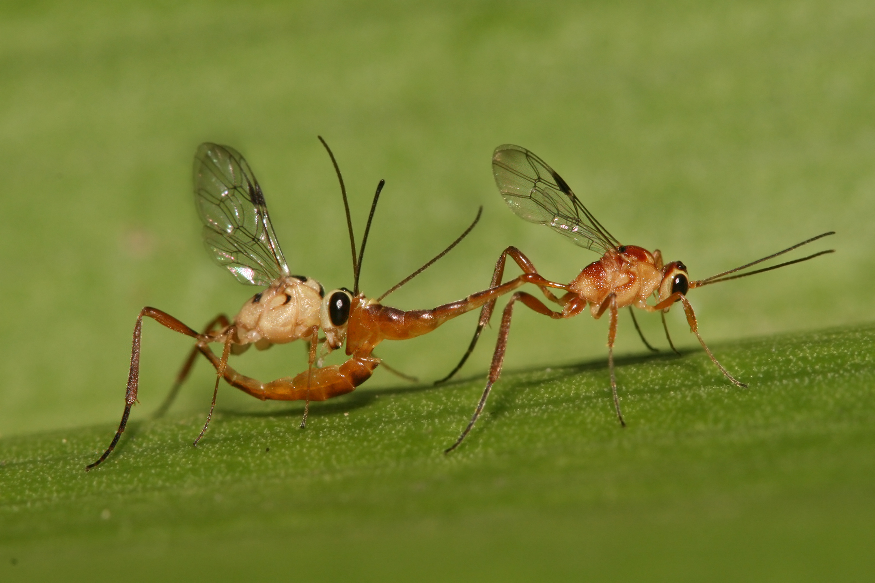 File:Ichneumonidae mating.jpg - Wikipedia