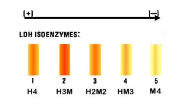 isozymes v2 markert clement