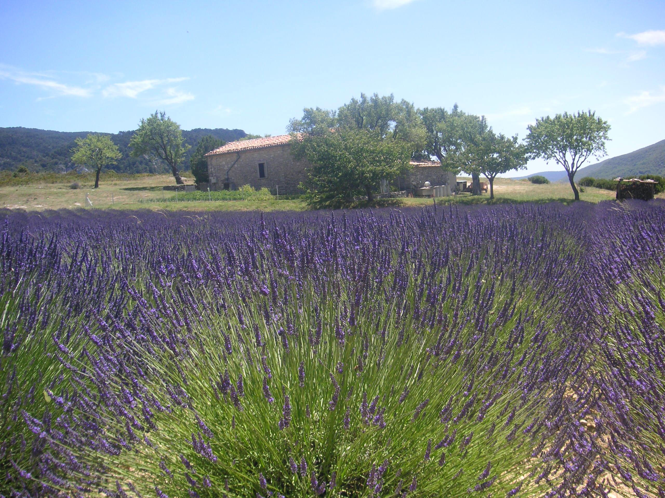 Beskrywing Lavender Field Provence France 021.JPG