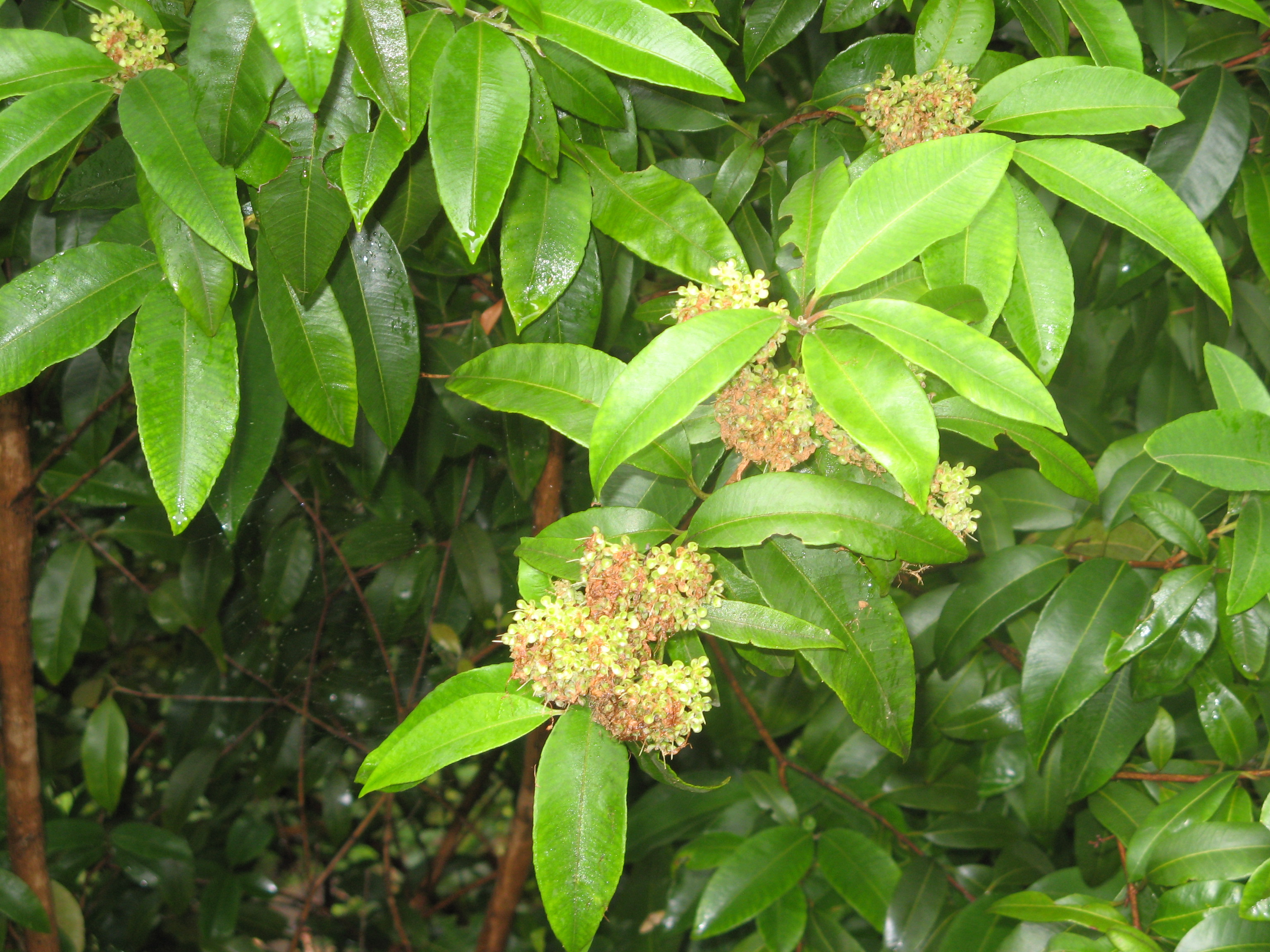 Lemon myrtle - Organic skin care for natural beauty
