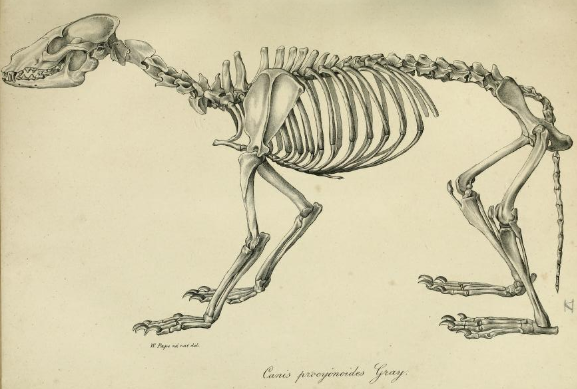 http://upload.wikimedia.org/wikipedia/commons/3/35/Leopold_v._Schrenck_-_Nyctereutes_procyonoides_skeleton.png