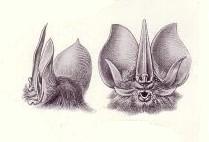 Phyllostominae Subfamily of bats