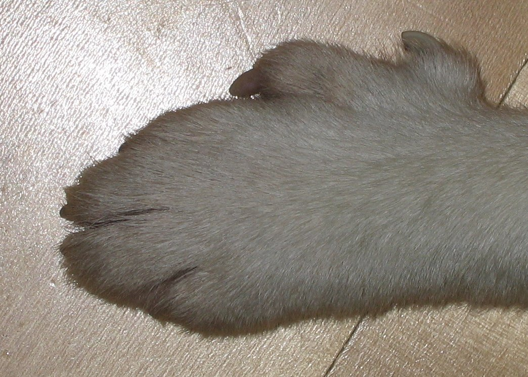 Picture Of Lundehund Paw
