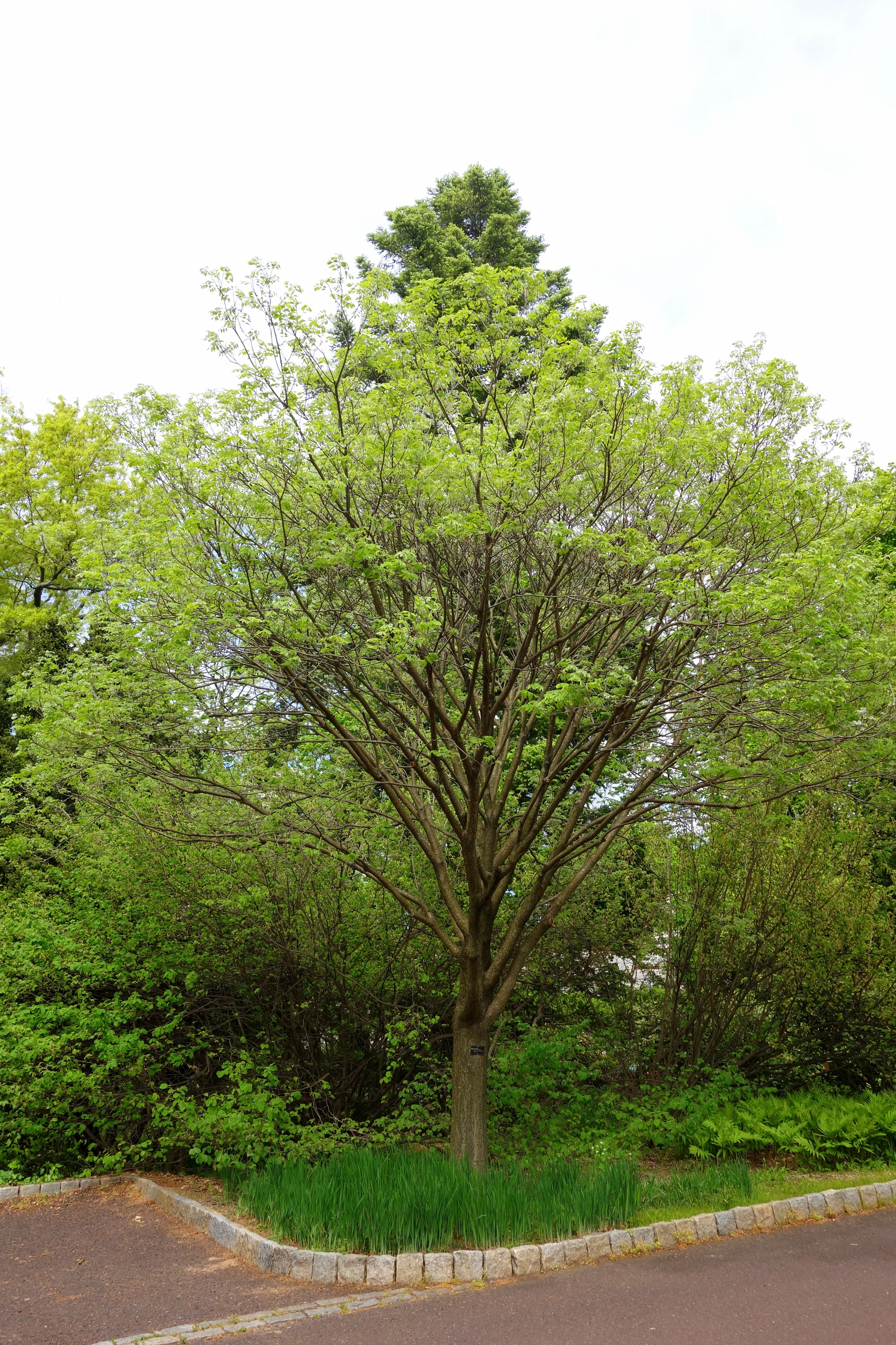 File maackia amurensis 39 starburst 39 morris arboretum dsc00542 jpg wikimedia commons - Maladie du saule pleureur ...