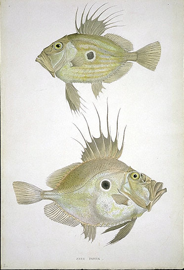 https://upload.wikimedia.org/wikipedia/commons/3/35/MacGillivray%2C_William_John_Dory.jpg