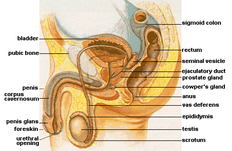 Diagram of the male pelvic and reproductive organs Male anatomy.png