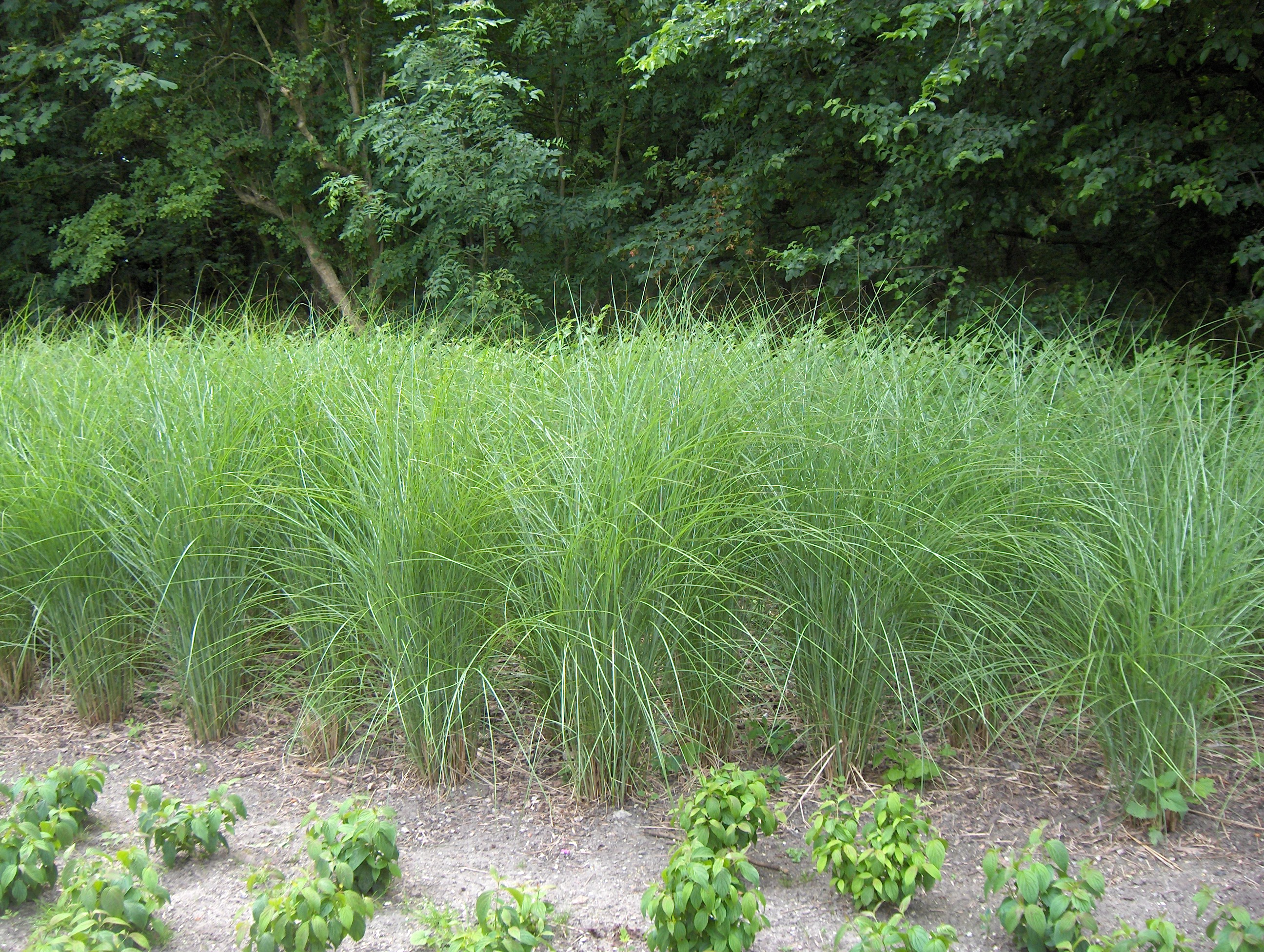 File miscanthus sinensis 39 gracillimus 39 wikimedia for Tall border grass
