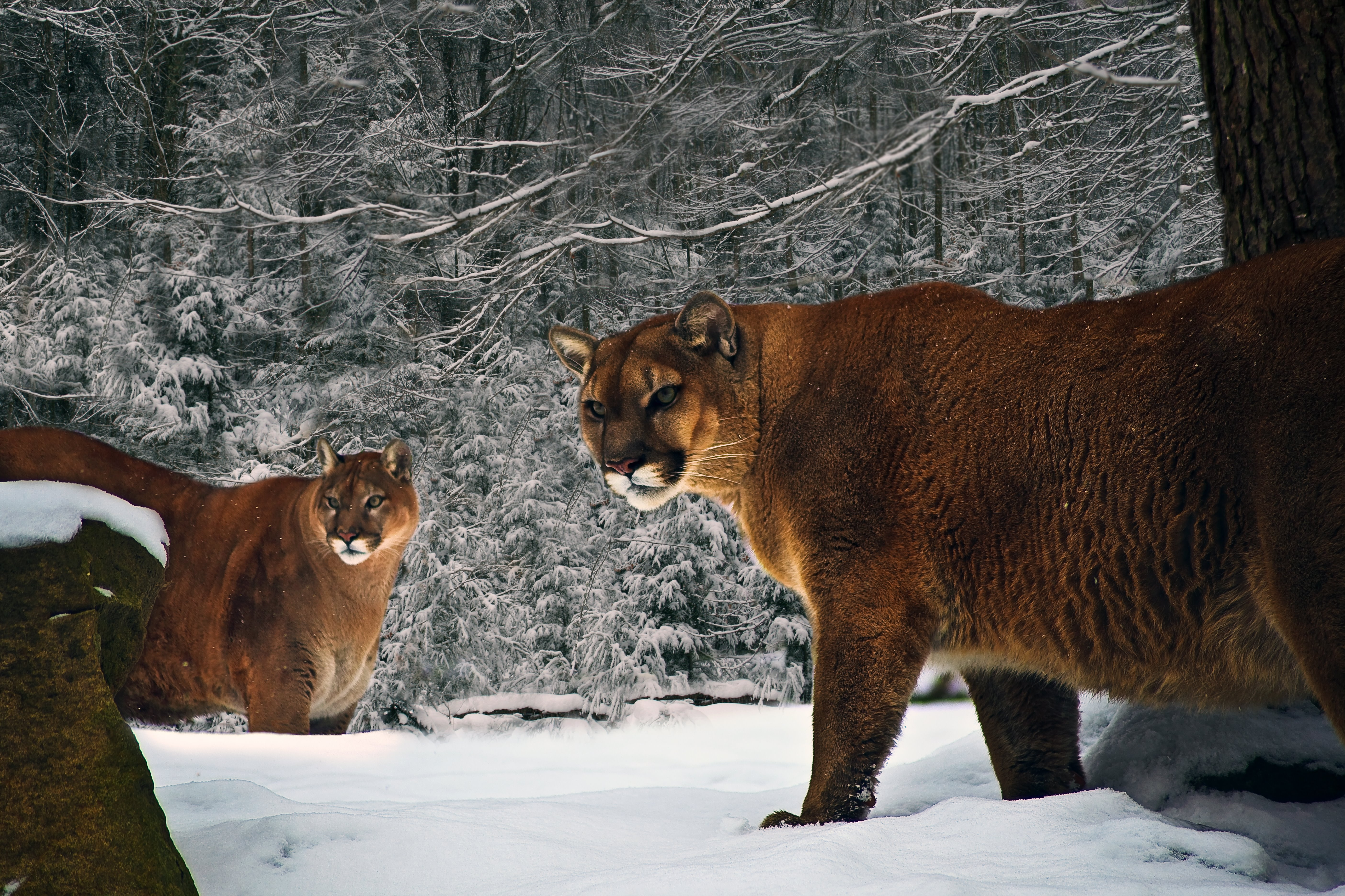 mormon lake cougars dating site Log-in to your eharmony account to meet singles on the #1 trusted online dating site we match singles based on compatibility for successful relationships.