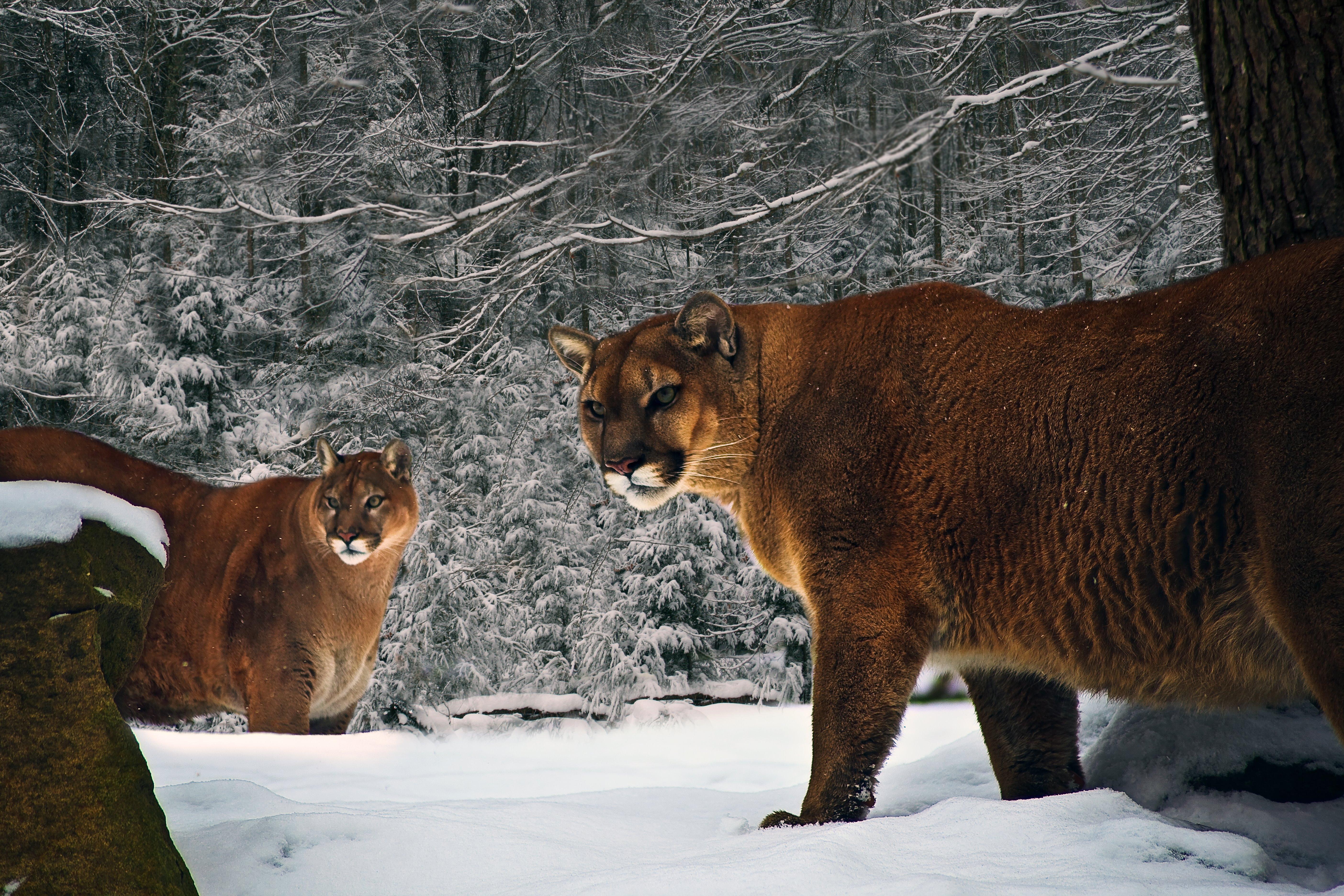 Big Cats In West Virginia