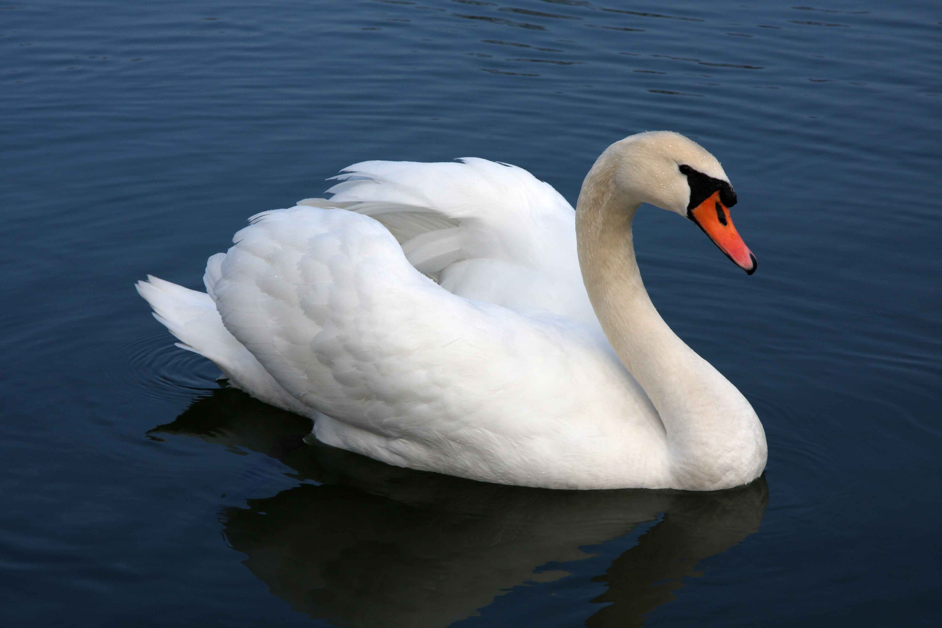 Swans Have Come Back >> Mute Swan Wikipedia