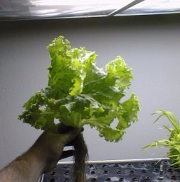 Close-up of lettuce and wheat grown in an aeroponic apparatus, NASAP, 1998.