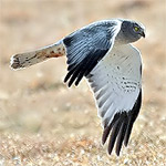 Northern harrier male.jpg