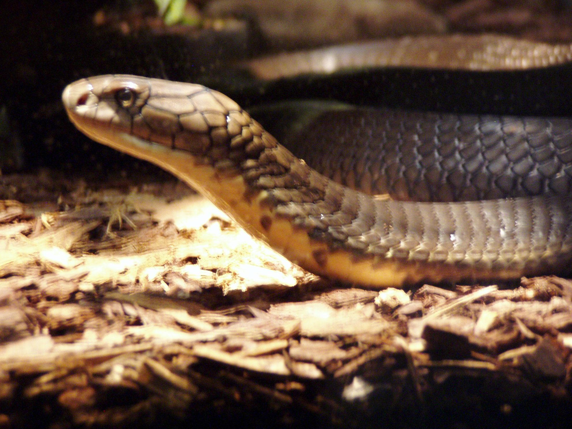 File:Ophiophagus hannah-Buffalo Zoo.JPG - Wikimedia Commons