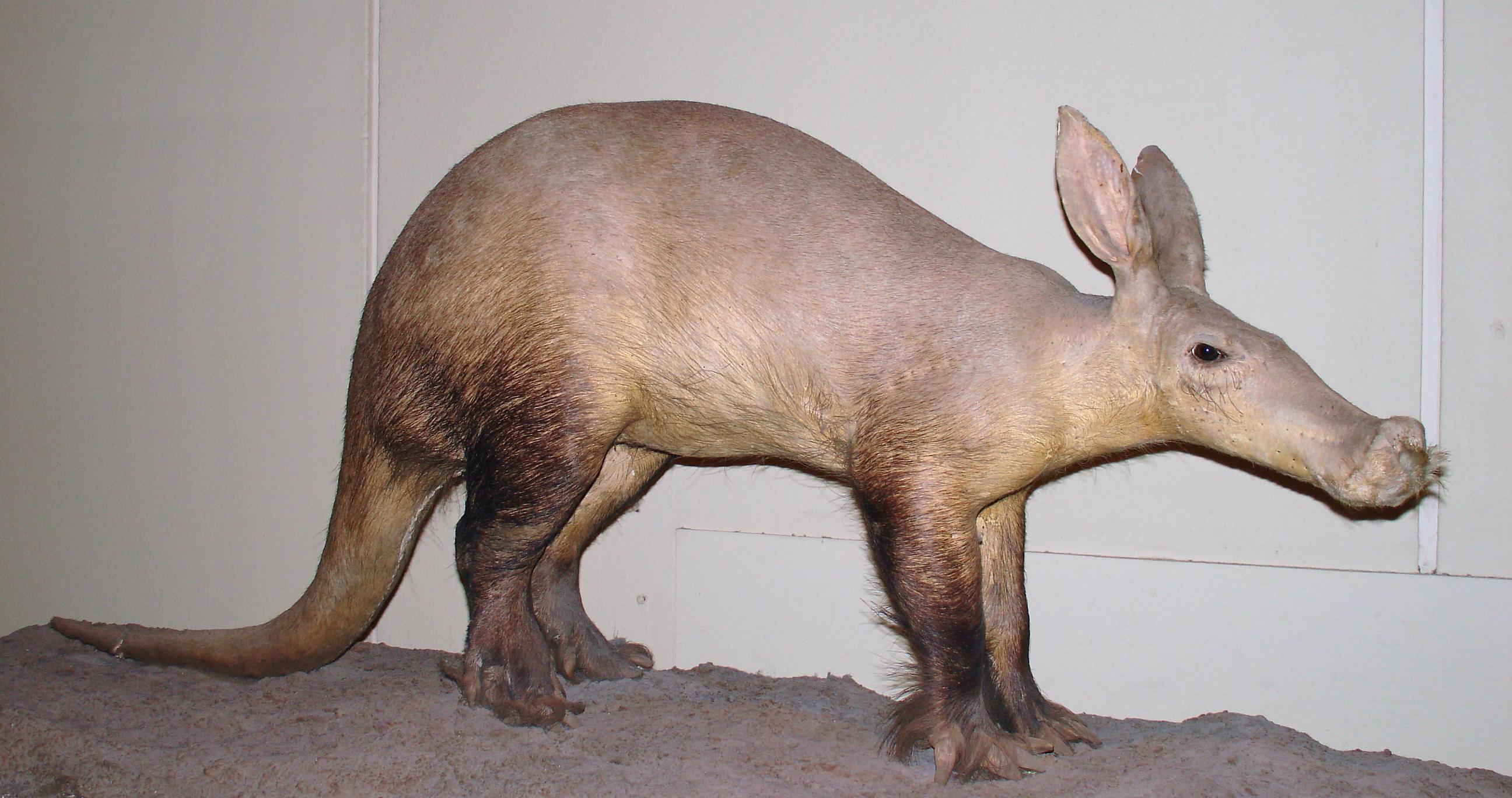 los cerdos comen de noche