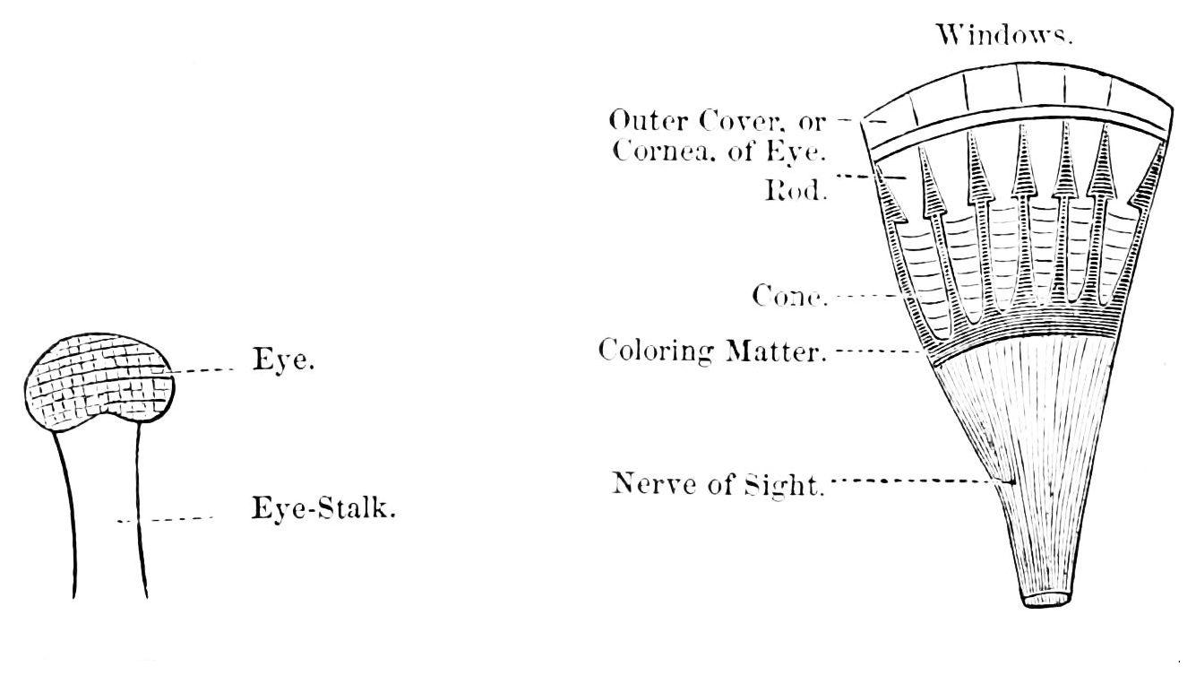 FilePSM V06 D604 Lobster Eye Stalk And Nerves