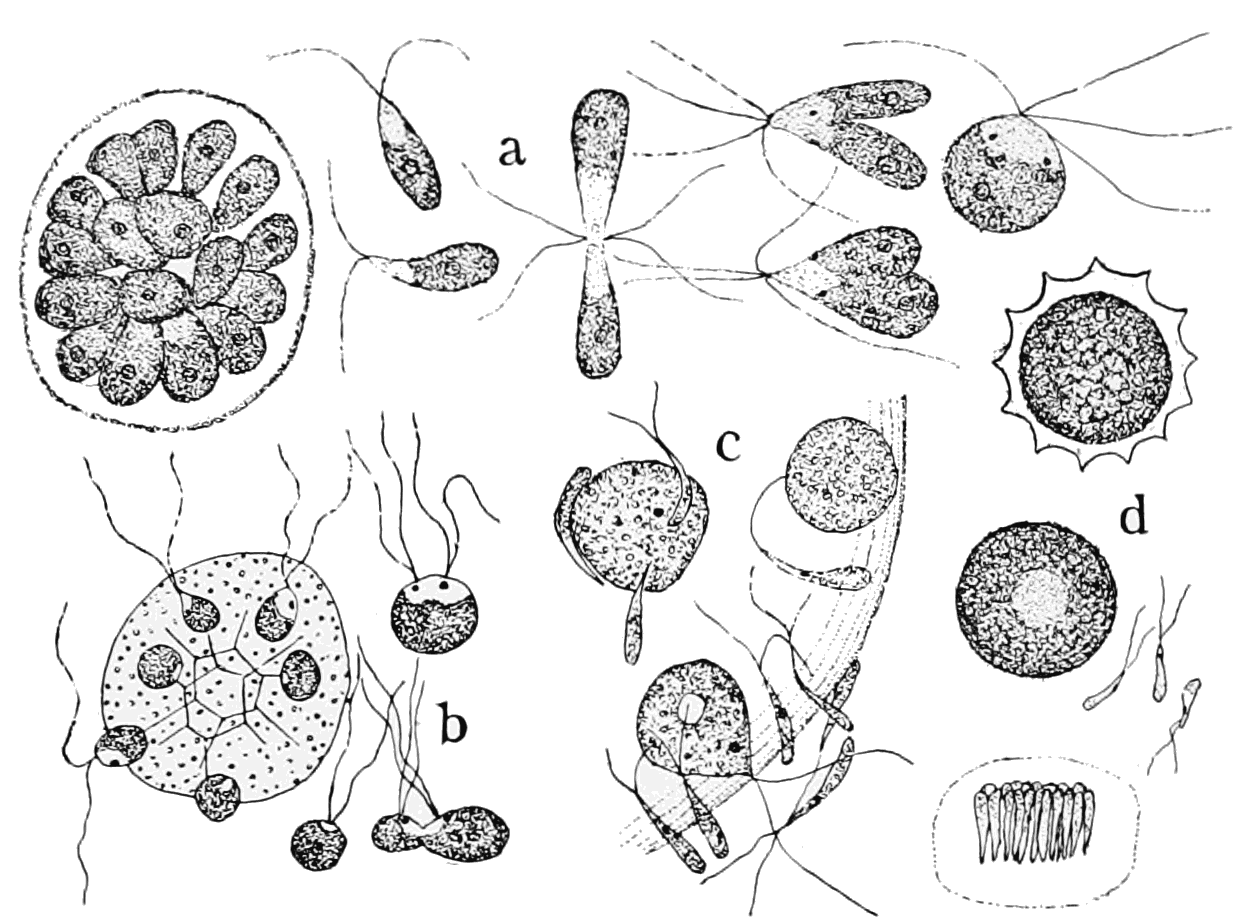 PSM V62 D309 Gametes and gametangia of the volvocaceae.png