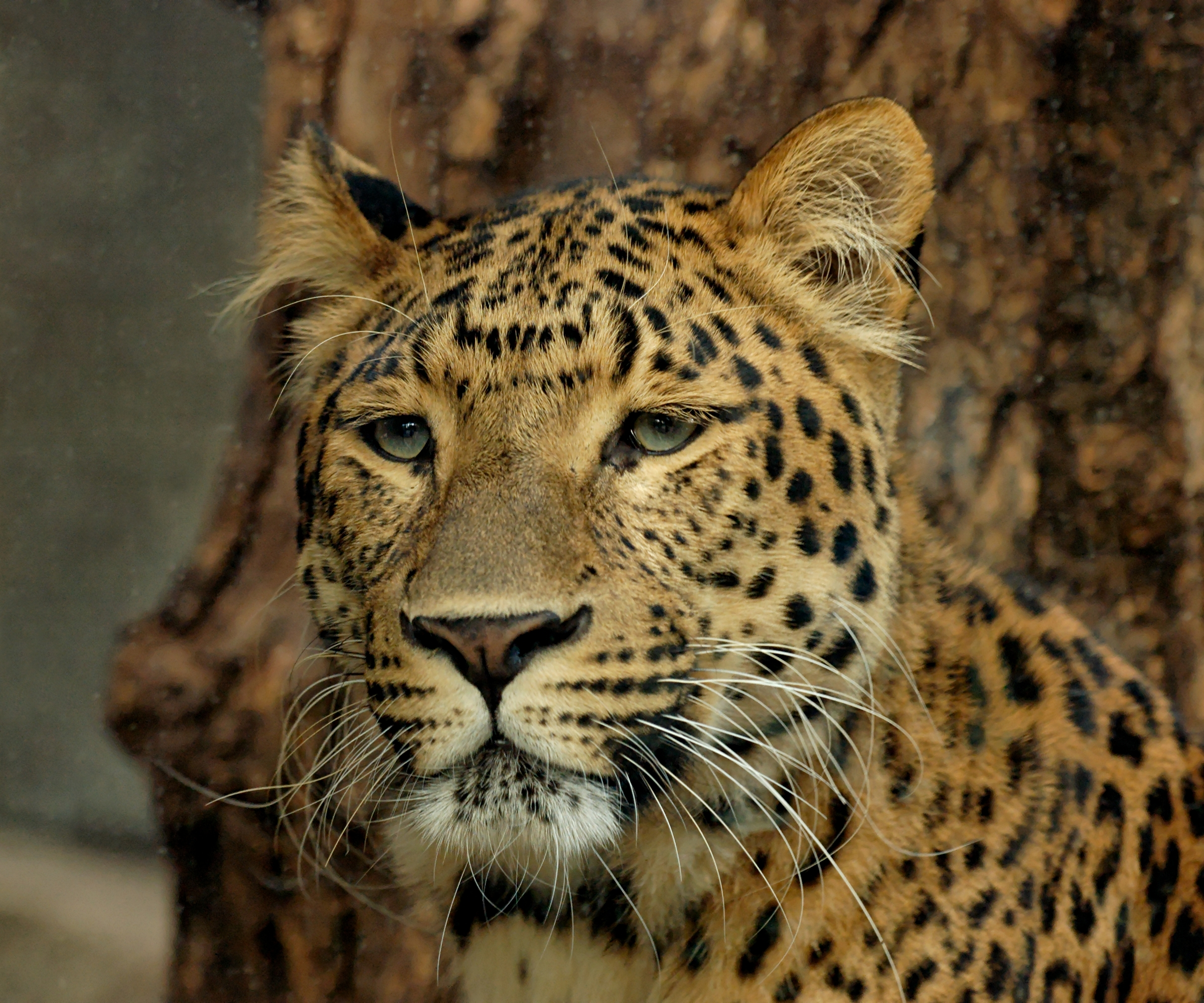 African leopard - By Marie-Lan Nguyen (Own work) [Public domain], via Wikimedia Commons