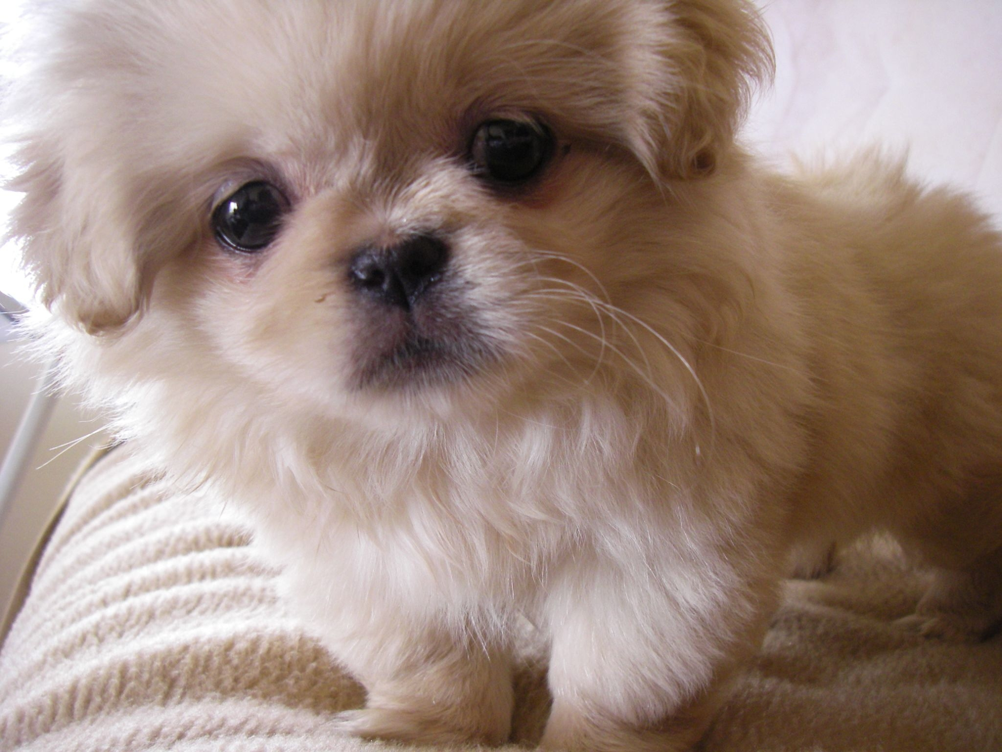 Breeds of small dogs : best small dog breeds: Pekingese small dog