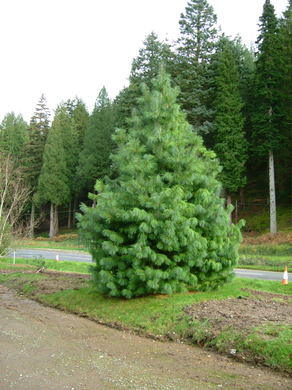 Pinus Stylesii Wikispecies