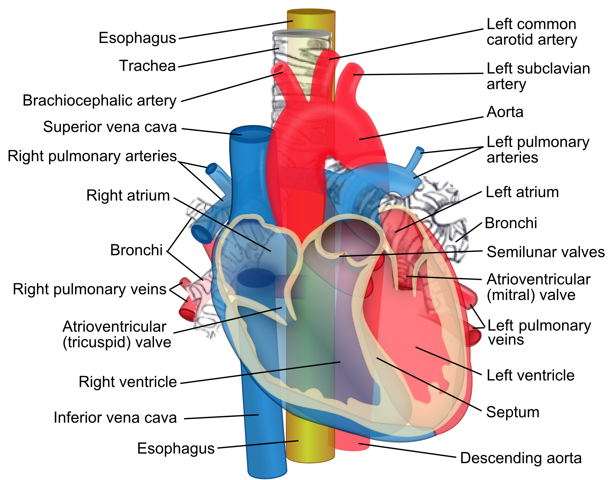 Description Relations of the aorta, trachea, esophagus and other heart ...