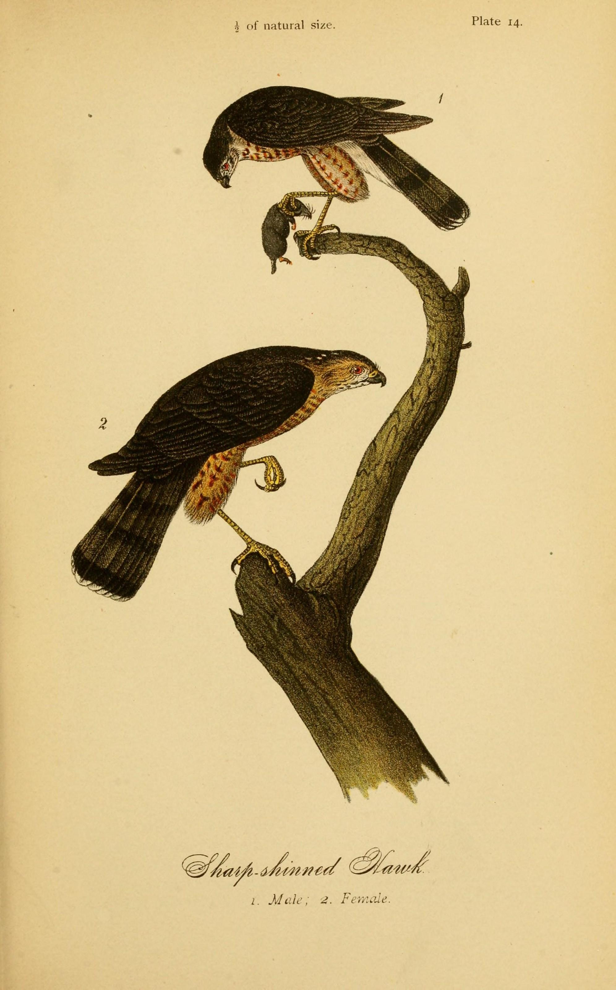 File Report On The Birds Of Pennsylvania Plate 14 7871795366 Jpg