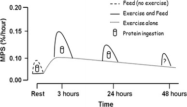 Graph of muscle protein synthesis vs time