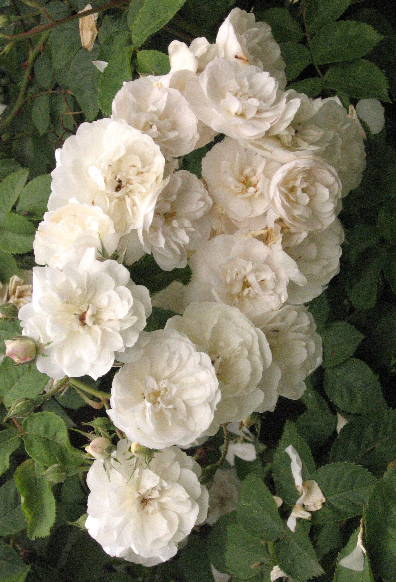 Пятнистость цветков роз