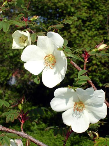 fleure rose
