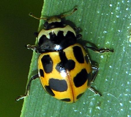 File:Semiadalia notata 2006-08-04.jpg