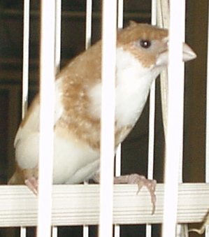 http://upload.wikimedia.org/wikipedia/commons/3/35/Society_Finch_light_brown.jpg