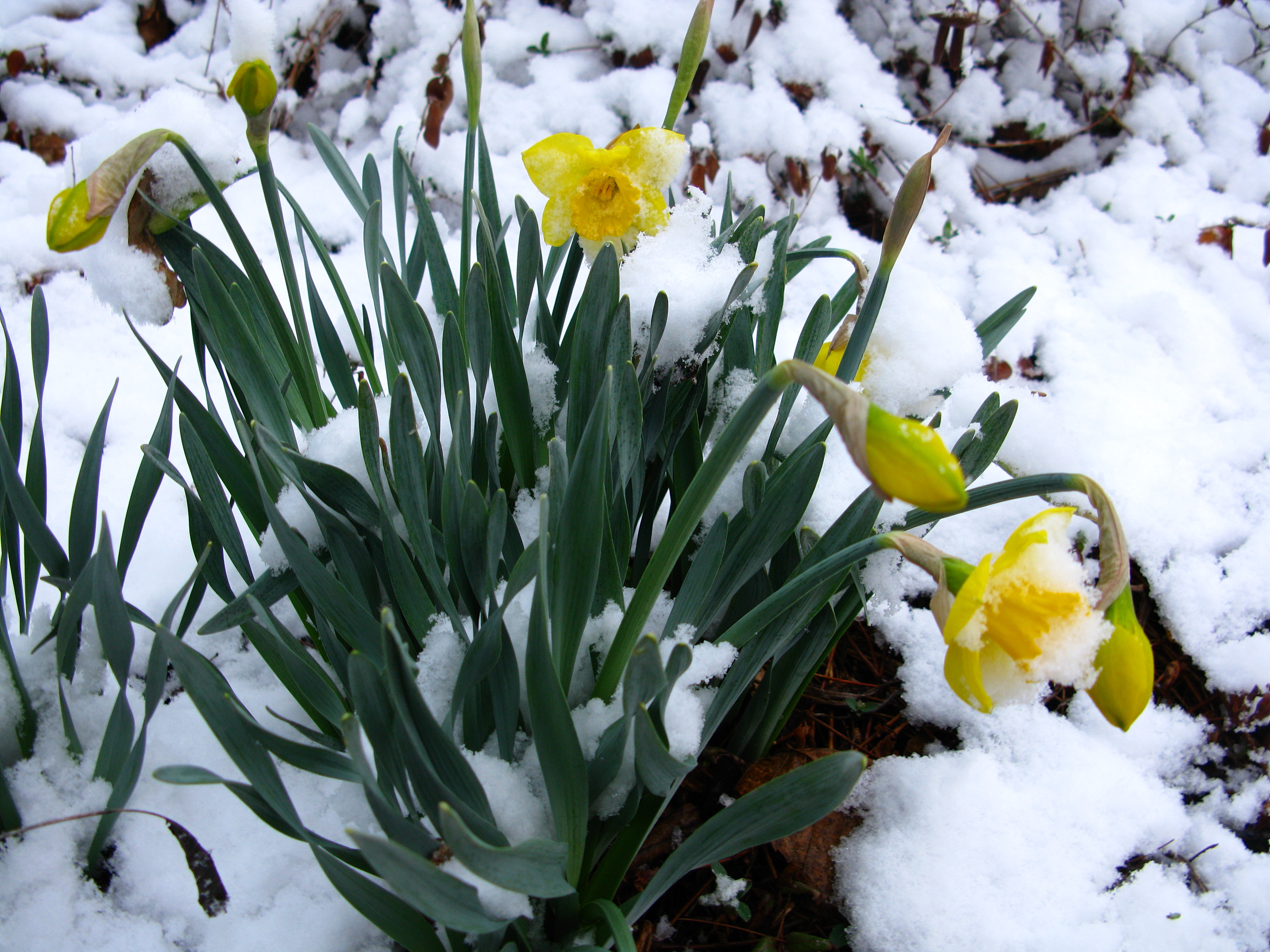 Filespring Snow Flowers Daffodil1 West Virginia Forestwander