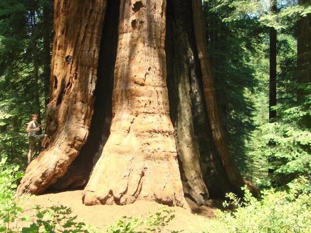 Stagg Tree Wikipedia