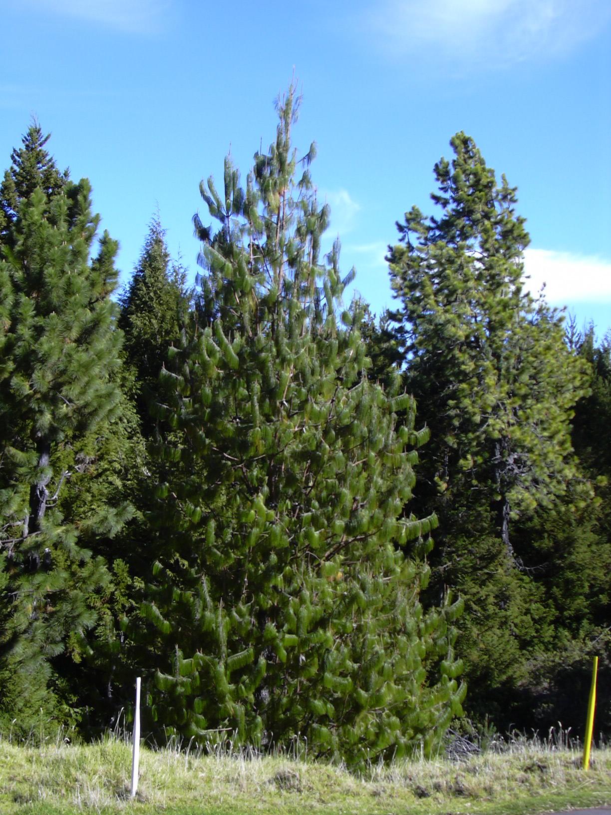 Pine Tree In Barcelona Transperfect: Pinus Patula