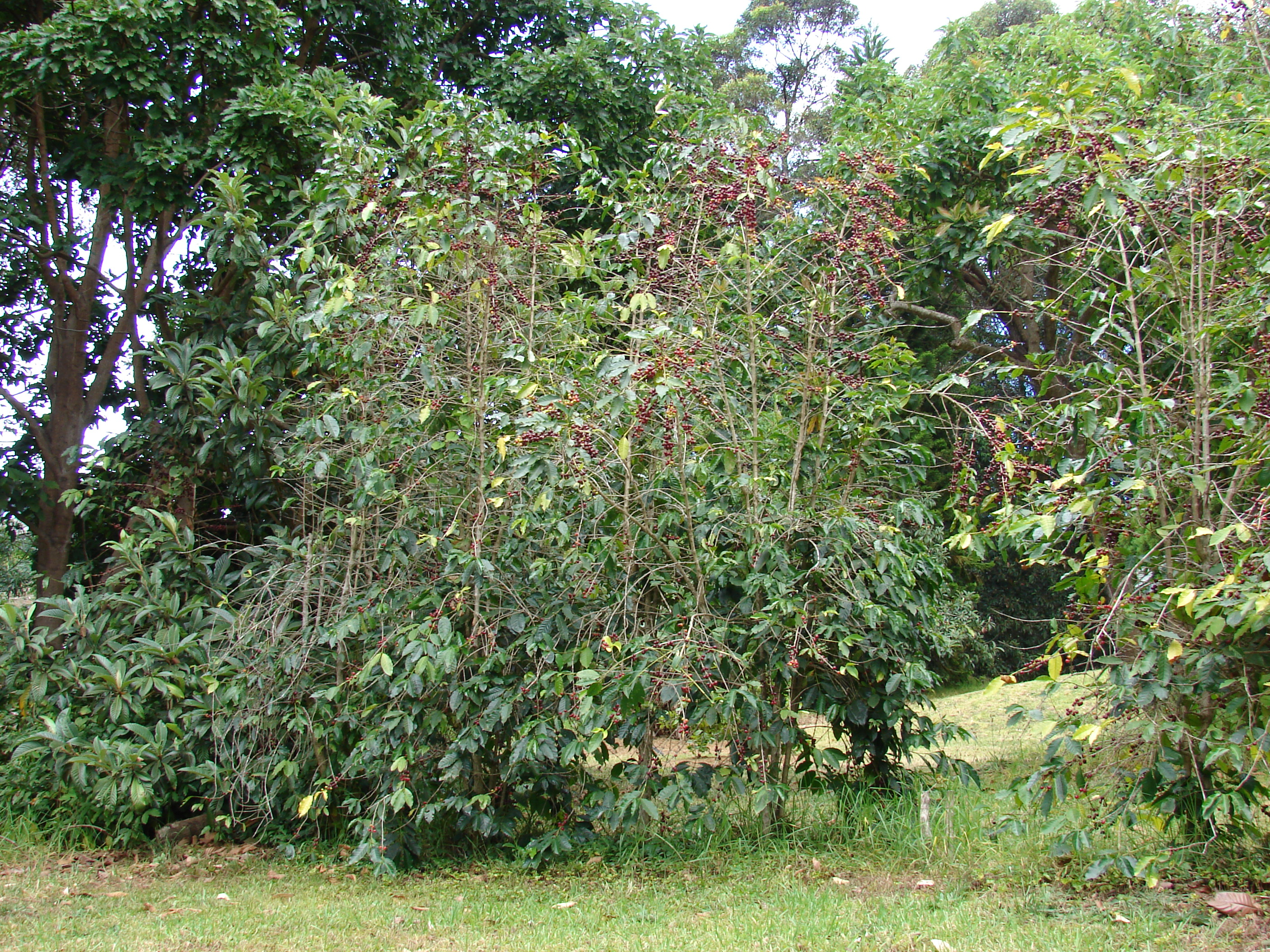 Production of callus from coffea arabica