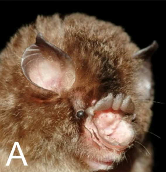 The average adult weight of a Stoliczka's trident bat is 6 grams (0.01 lbs)