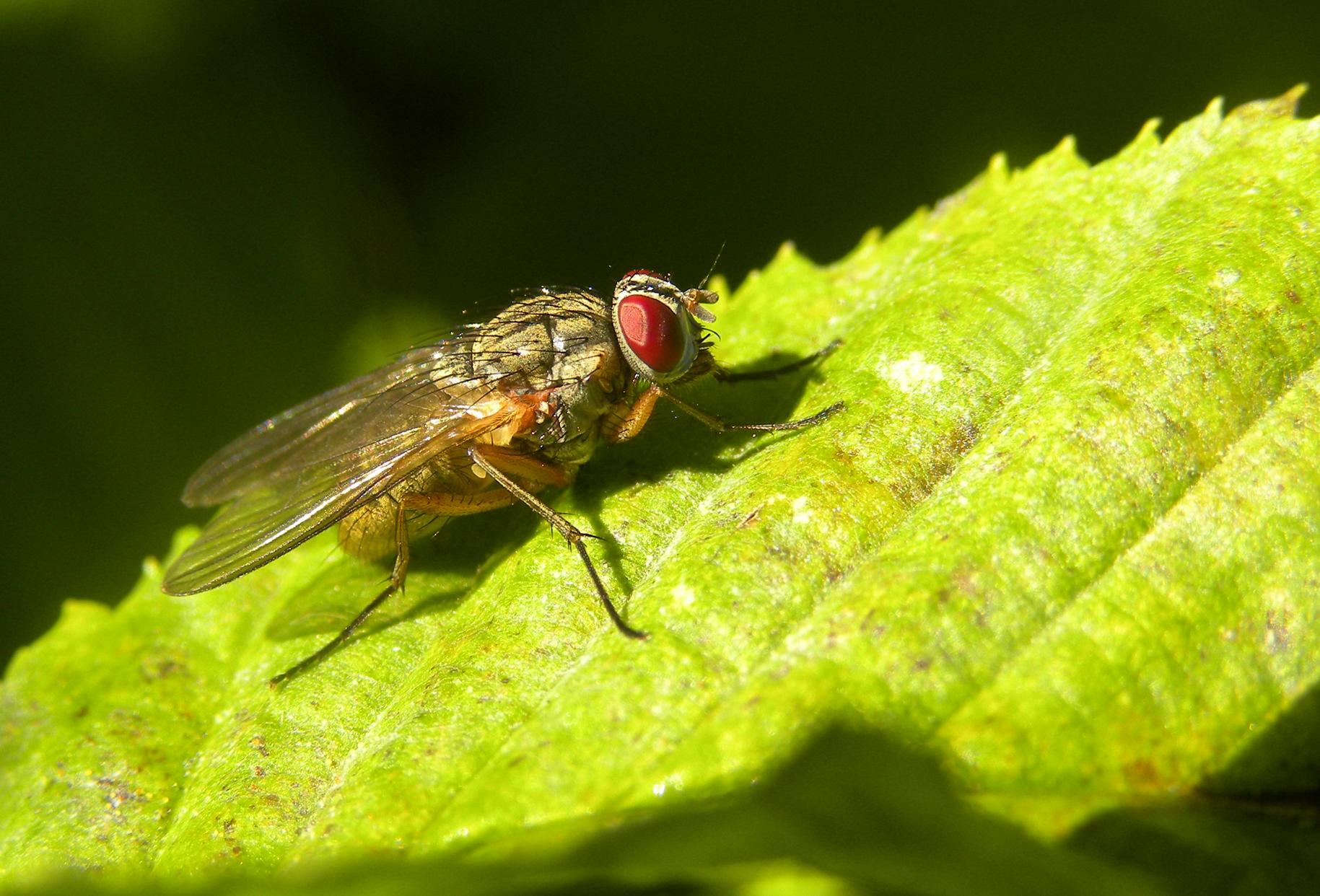 Biting Fly