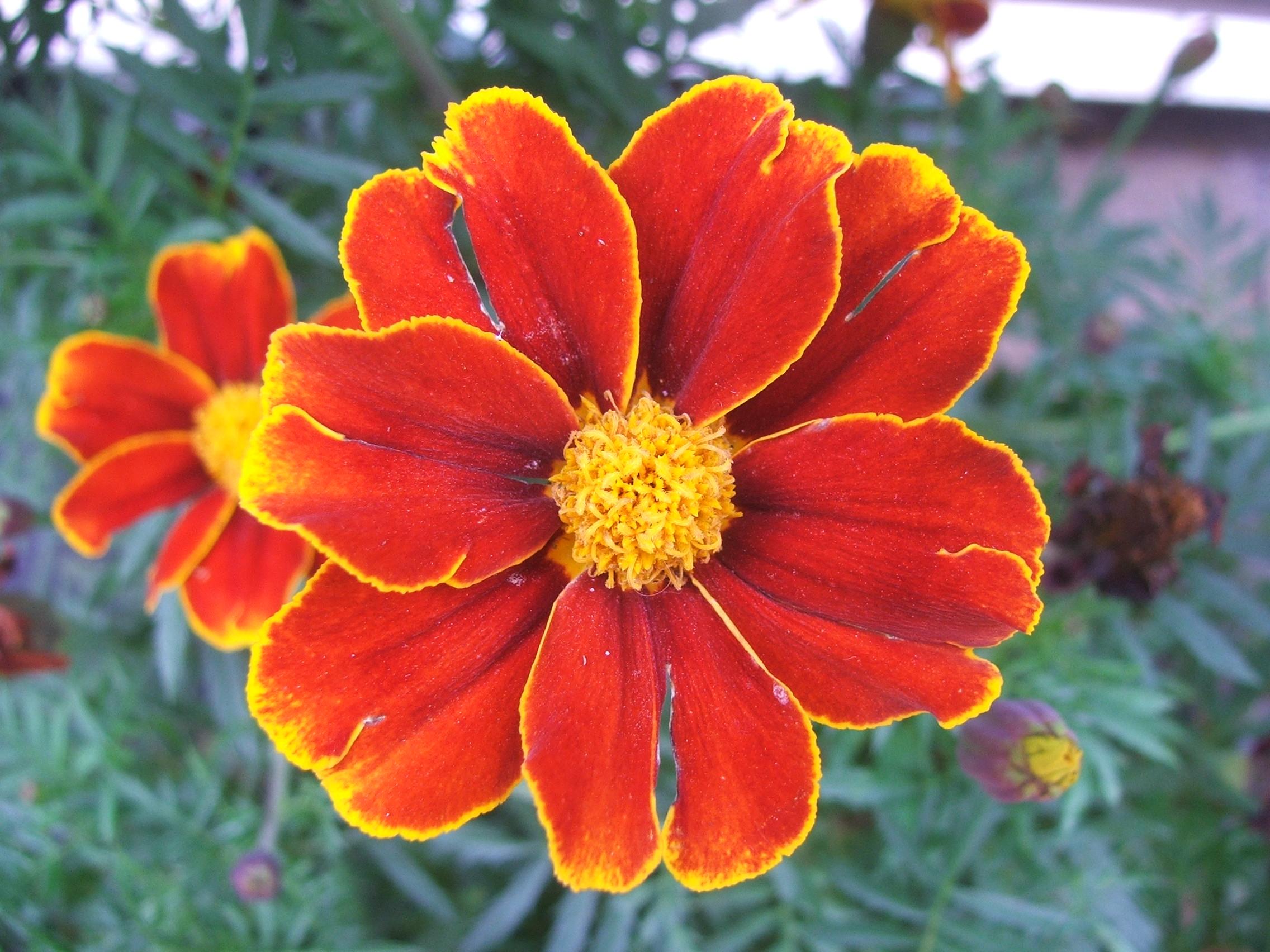 File Ta es flower Wikimedia mons