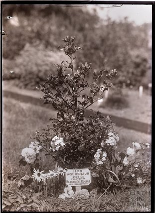 Tree planted by Blanche Rogers