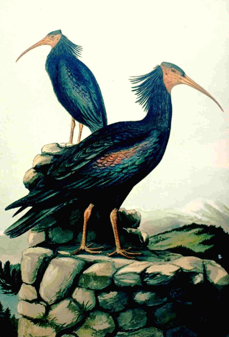 https://upload.wikimedia.org/wikipedia/commons/3/35/Waldrapp_01.jpg