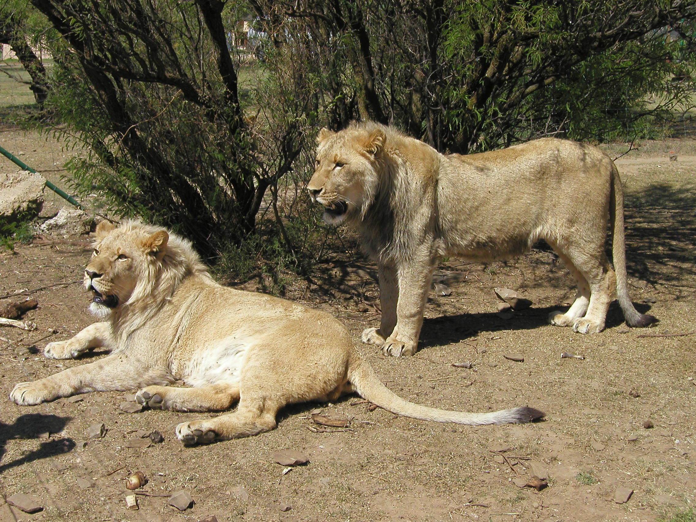 lions - deux - jeunes